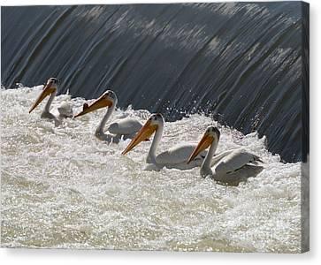 Pelican Four Canvas Print by Mike  Dawson
