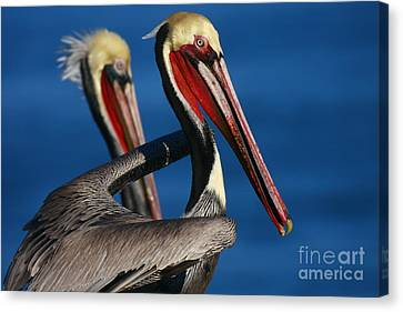 Canvas Print featuring the photograph Pelican Heads by John F Tsumas