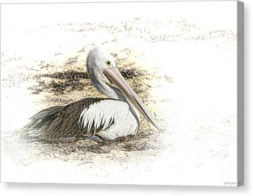 Canvas Print featuring the photograph Pelican by Holly Kempe