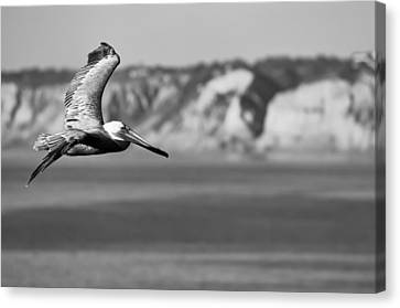 Pelican In Black And White Canvas Print by Sebastian Musial