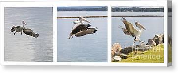 Pelican In Flight Canvas Print by Carole Lloyd