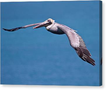 Pelican In Flight Florida Canvas Print by Mr Bennett Kent
