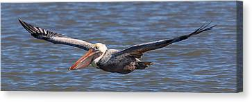 Pelican In Flight Canvas Print by Patricia Schaefer