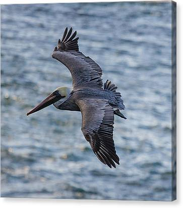 Canvas Print featuring the photograph Pelican In Flight by Sonny Marcyan