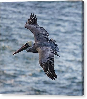 Pelican In Flight Canvas Print by Sonny Marcyan