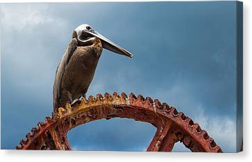 Pelican In St. Croix Canvas Print