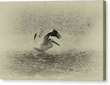 Pelican Landing In Black And White Canvas Print by Thomas Young