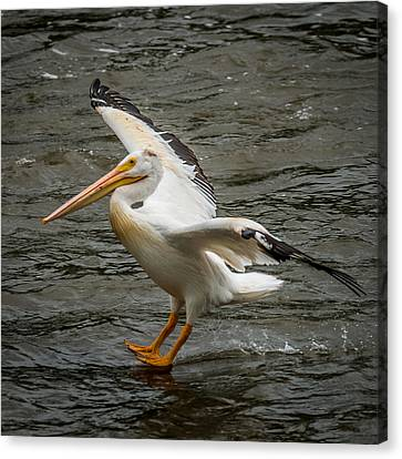 Pelican Landing Canvas Print by Paul Freidlund