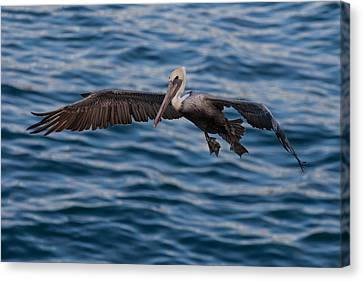 Canvas Print featuring the photograph Pelican Landing by Sonny Marcyan