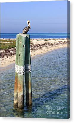Pelican Lookout Canvas Print by Alison Tomich