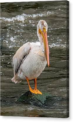 Pelican On A Rock Canvas Print