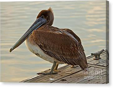 Pelican On The Dock Canvas Print