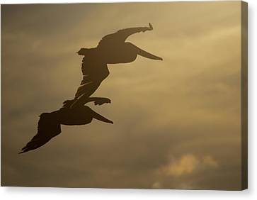 Canvas Print featuring the photograph Pelican Pair by Erin Kohlenberg