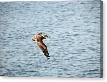 Pelican Canvas Print by Paul Van Baardwijk