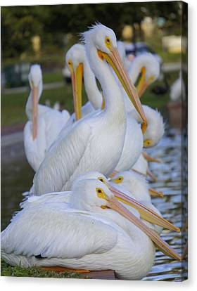 Flying White Pelicans Canvas Print - Pelican Pile by Laurie Perry