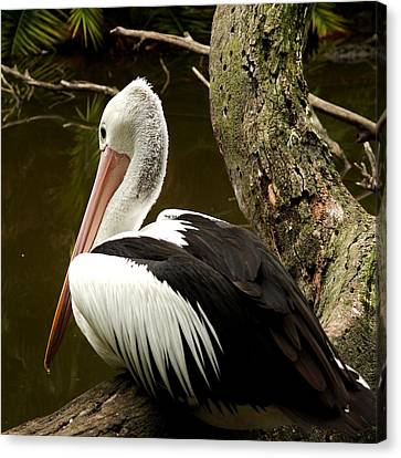 Canvas Print featuring the photograph Pelican Poise by Maria  Disley