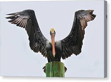 Pelican Poser Canvas Print by Paulette Thomas