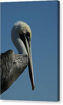 Pelican Profile 2 Canvas Print by Ernie Echols
