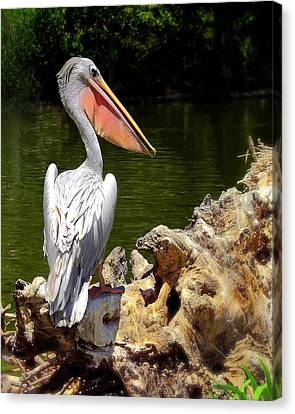 Pelican Proud #2 Canvas Print