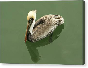 Pelican Reflection Canvas Print