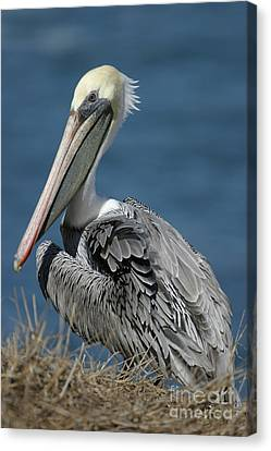 Pelican Canvas Print by Russell Christie