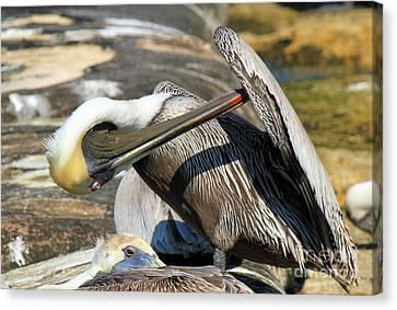Pelican Scratch Canvas Print by Adam Jewell