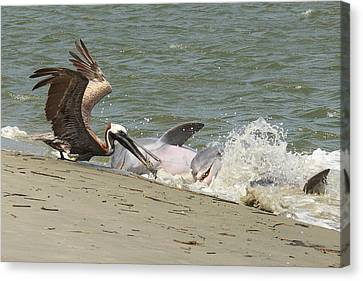 Pelican Steals The Fish Canvas Print by Patricia Schaefer