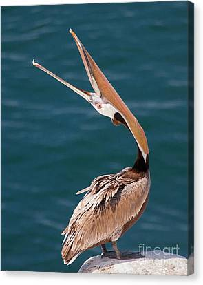 Canvas Print featuring the photograph Pelican Stretch by Dale Nelson