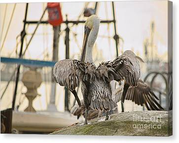 Pelican Strut Canvas Print by Donna Greene