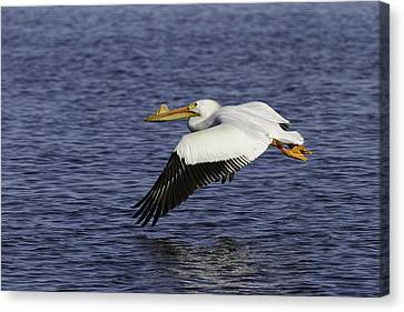 Pelican Taking Off Canvas Print by Thomas Young