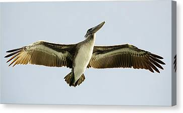 Pelican Wing Span Canvas Print by Paulette Thomas