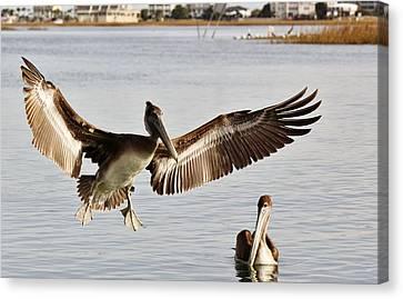 Pelican Wings Span Canvas Print by Paulette Thomas