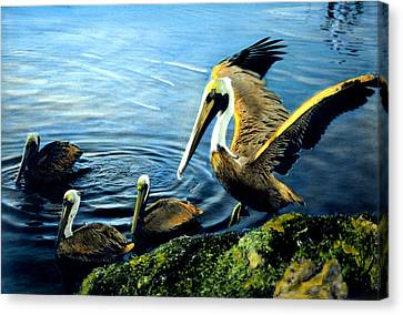 Pelicans Canvas Print by Cindy McIntyre