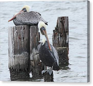 Pelicans Enjoying Lake Ponchartrain Canvas Print