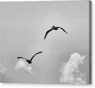 Pelicans In Flight IIi Canvas Print by Scott Cameron