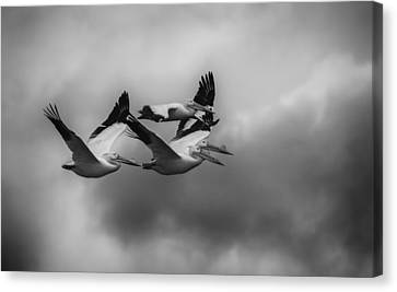 Flying White Pelicans Canvas Print - Pelicans In Flight by Thomas Young