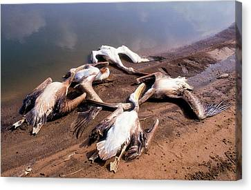 Pelicans Killed By Angry Fish Growers. Canvas Print by Photostock-israel