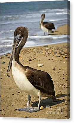 Pelicans On Beach In Mexico Canvas Print by Elena Elisseeva