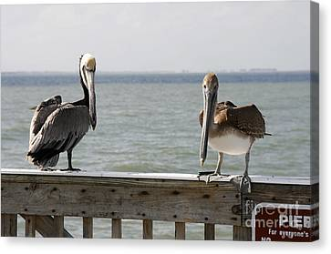 Pelicans On The Pier At Fort Myers Beach In Florida Canvas Print