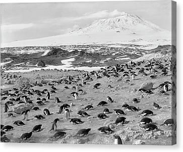 Terra Canvas Print - Penguin Colony In Antarctica by Scott Polar Research Institute