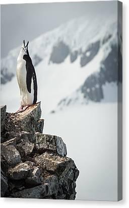 Penguin Cry - Antarctica Penguin Photograph Canvas Print by Duane Miller