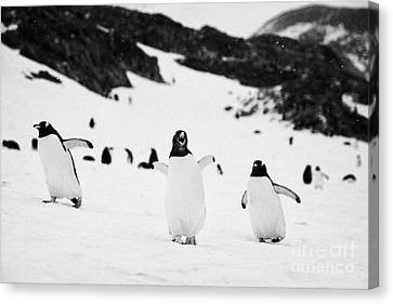 Penguin With Wings Outstretched Calling In Gentoo Penguin Colony On Cuverville Island Antarctica Canvas Print by Joe Fox