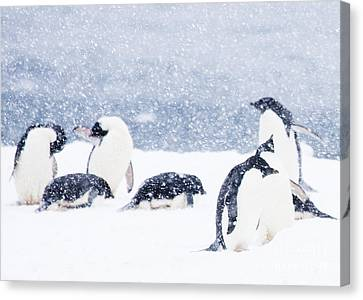 Penguins In The Snow Canvas Print by Carol Walker
