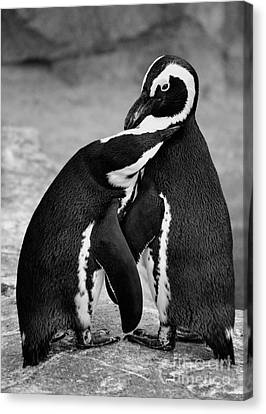 Penguin's Preening Black And White Canvas Print