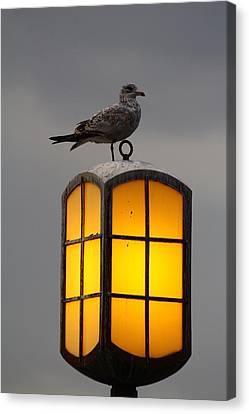 Pensive Gull Canvas Print by Rexford L Powell