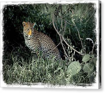 Pensive Leopard Canvas Print