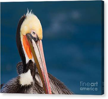 Canvas Print featuring the photograph Pensive Pelican by Dale Nelson