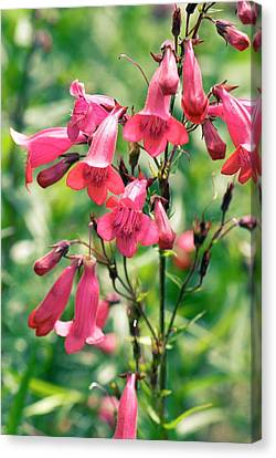 Penstemon 'rajah' Flowers Canvas Print by Adrian Thomas
