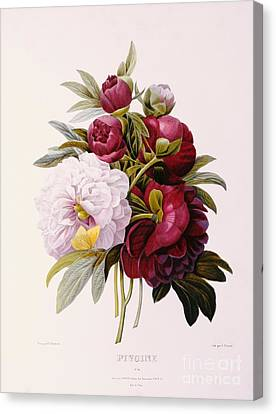 Peonies Engraved By Prevost Canvas Print by Pierre Joseph Redoute