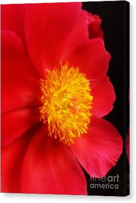 Peony 2 Canvas Print by Heather L Wright